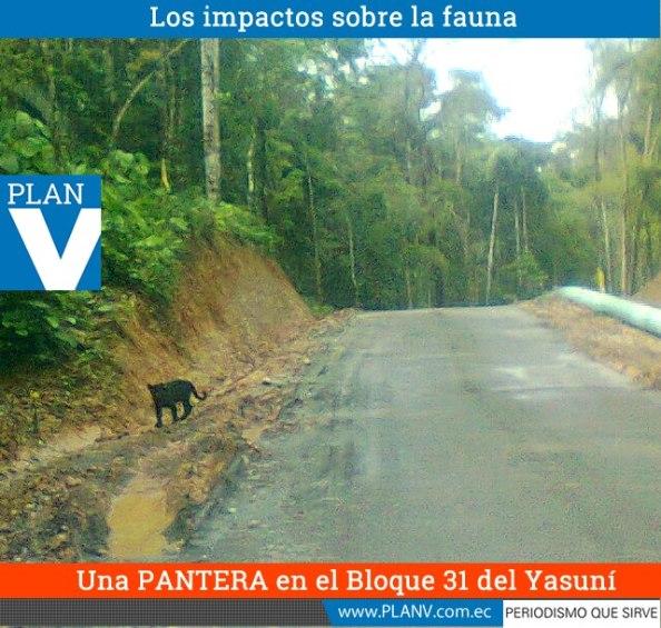 """Pantera en la carretera del Bloque 31. Imagen de """"Plan V"""""""